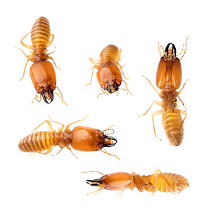 Southern Harvester Termite Small